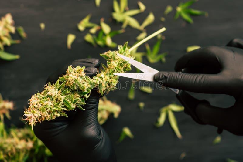 人种植者整理新鲜的收获大麻芽 大麻 免版税库存照片