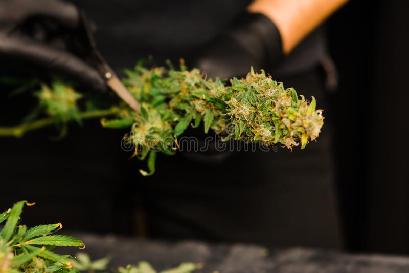 人种植者整理新鲜的收获大麻芽 大麻 免版税库存图片