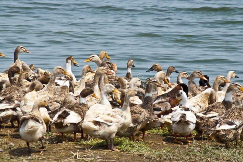 人群鸭子 库存图片
