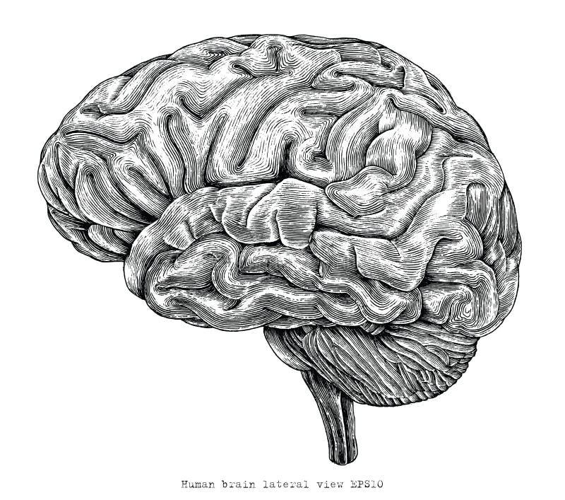 人脑侧向视图手图画葡萄酒板刻illustra 向量例证