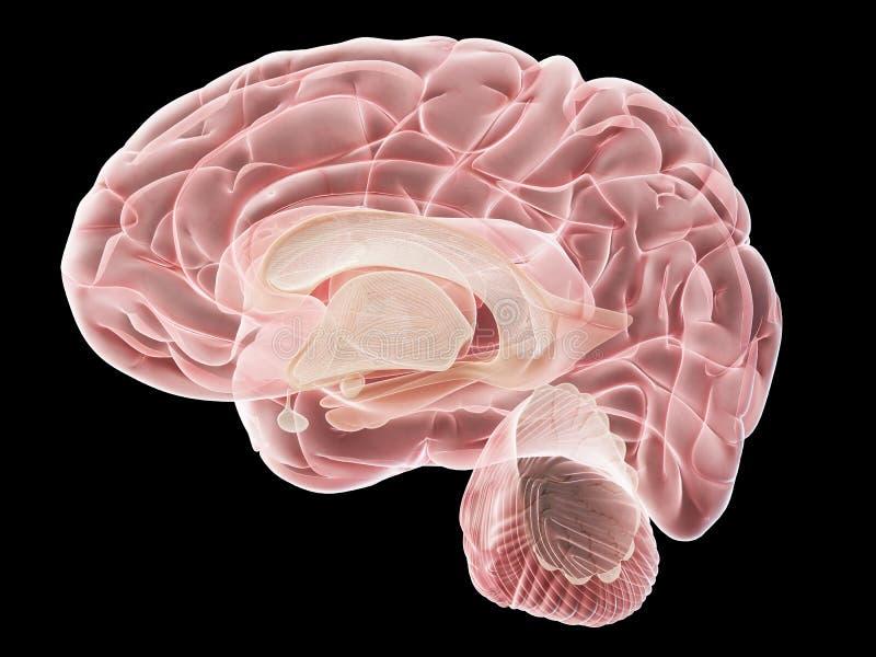 人脑的一个侧向横断面 皇族释放例证
