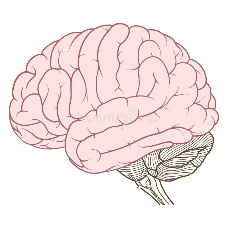 人脑解剖学侧视图的色的大脑平展 库存例证