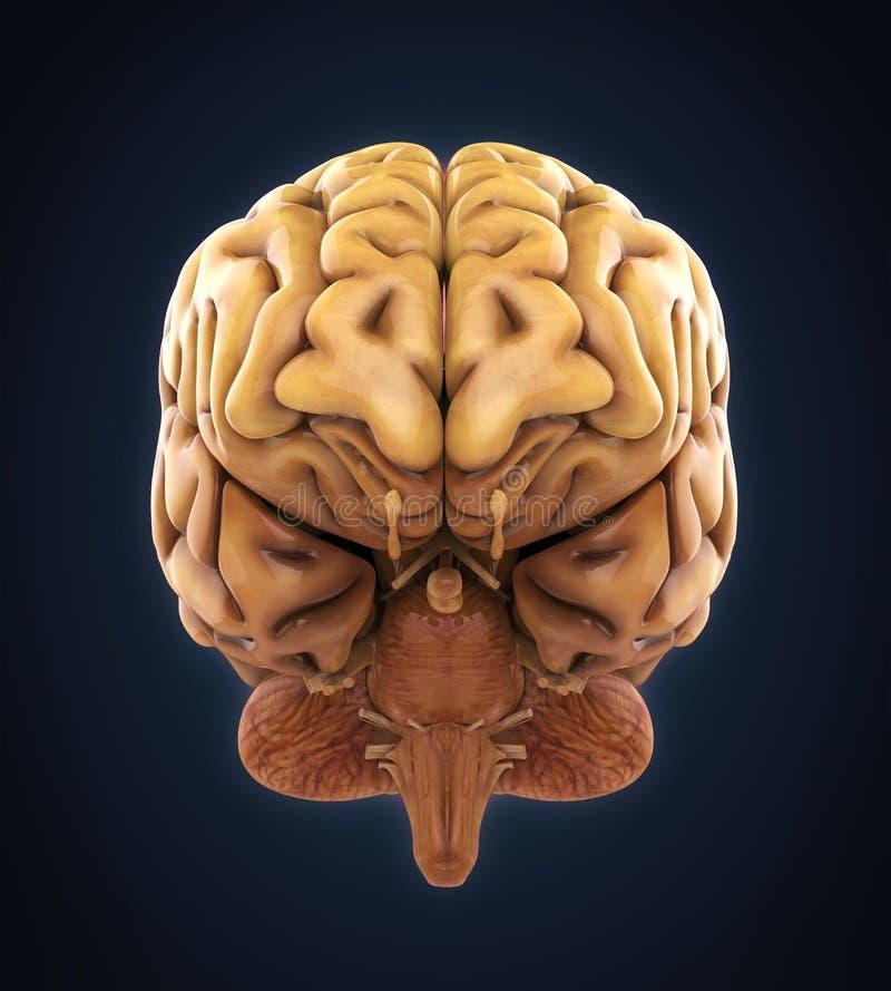 人脑解剖学 库存例证