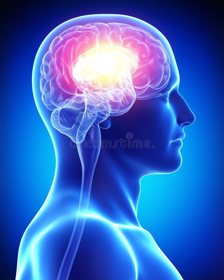 人脑 皇族释放例证