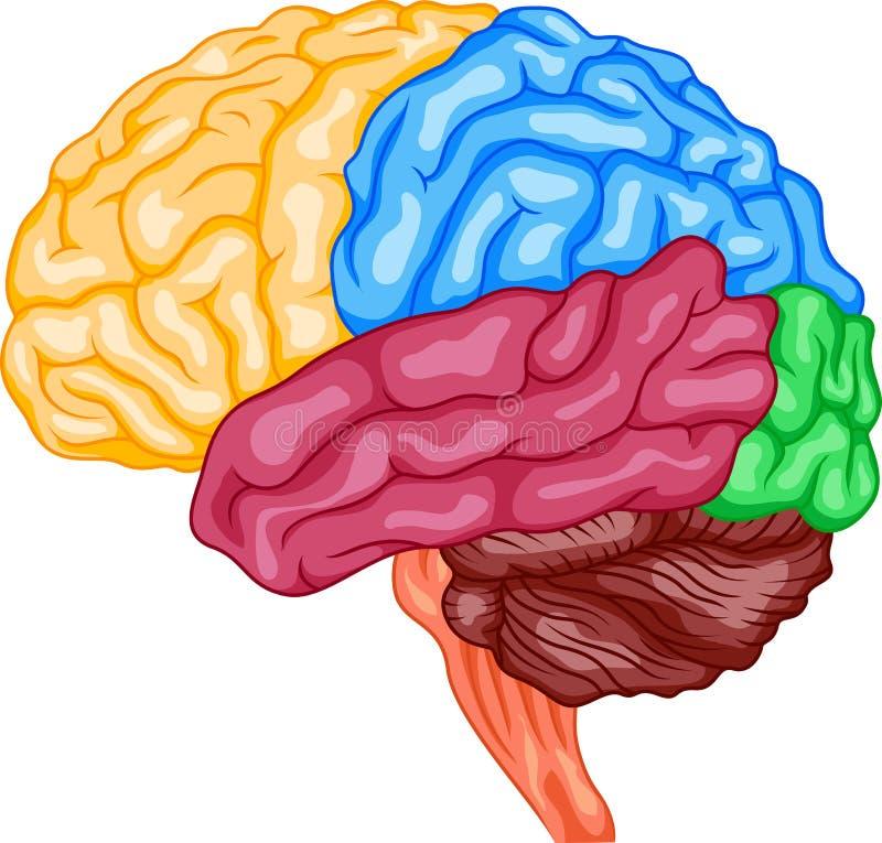人脑 向量例证