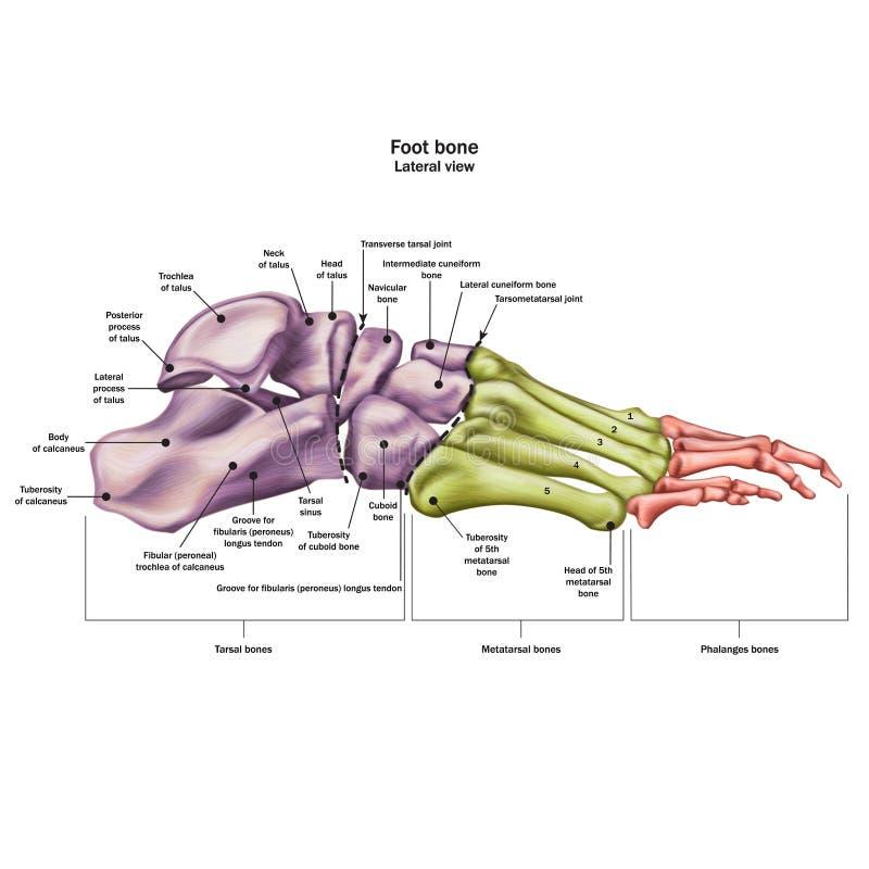 人脚的骨头与所有站点的名字和描述的 侧向看法 r 库存例证