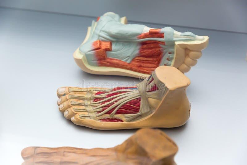 人脚结构,教育概念解剖学  图库摄影