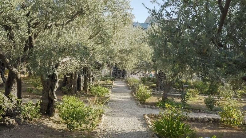 人行道和橄榄树在gethsemane庭院里  免版税库存图片