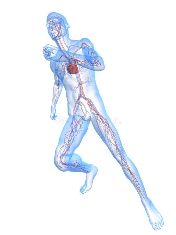人运行血管 库存例证