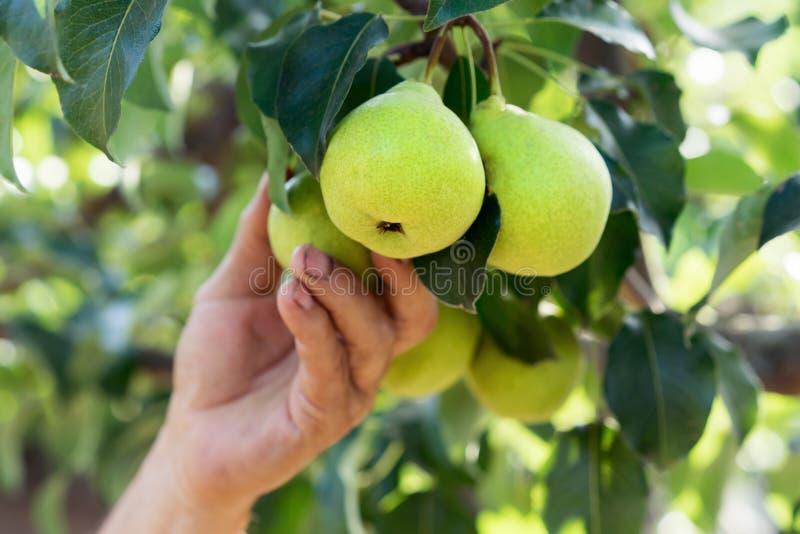 人递花匠拉扯收获从树的分支的一个梨 免版税库存图片