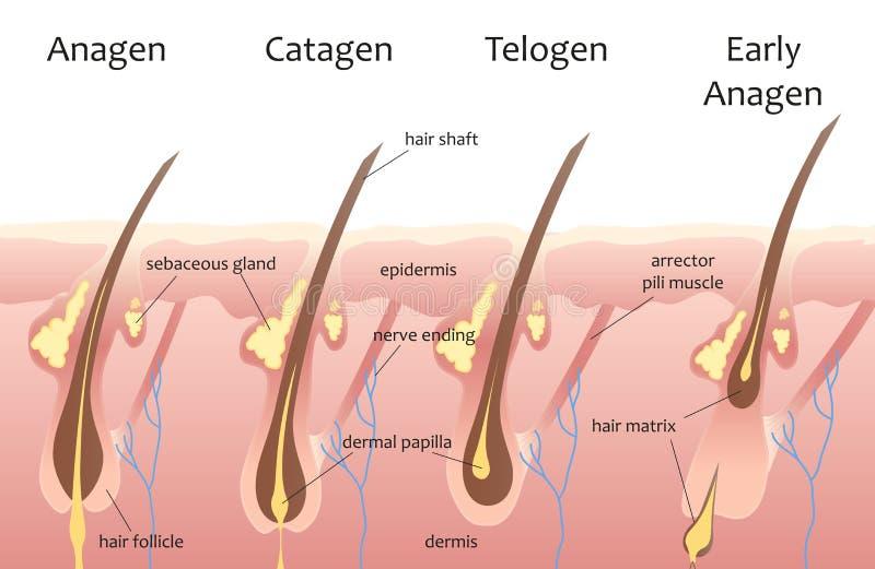人头头发生长周期 生物catagen, telogen阶段 头发infographics 皇族释放例证