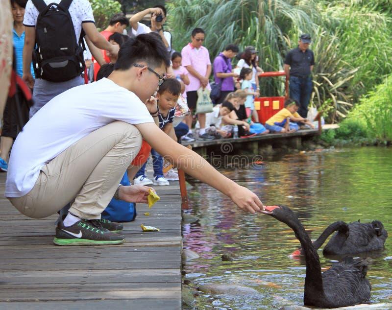 人们在成都喂养天鹅,中国公园  免版税库存照片