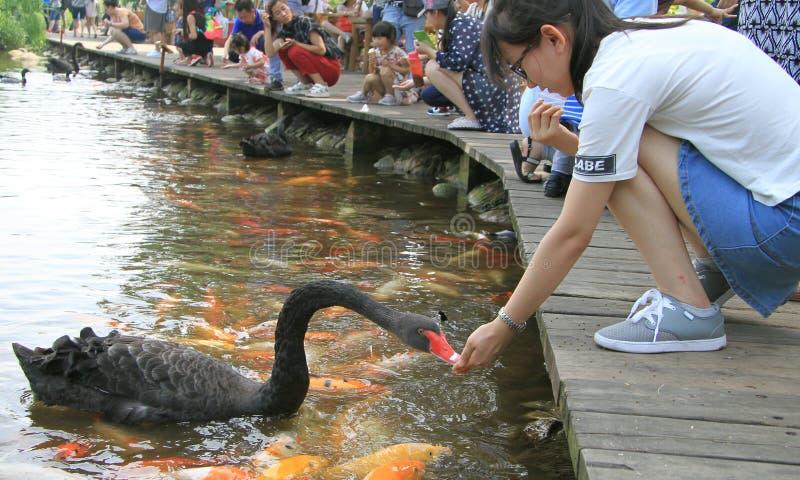 人们在成都喂养天鹅,中国公园  图库摄影