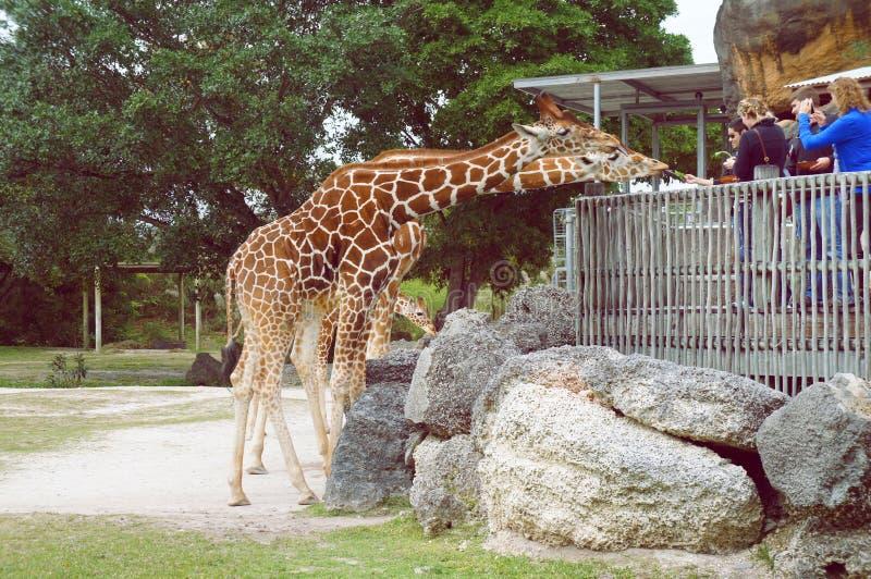 人们在迈阿密地铁动物园里喂养长颈鹿 免版税库存照片