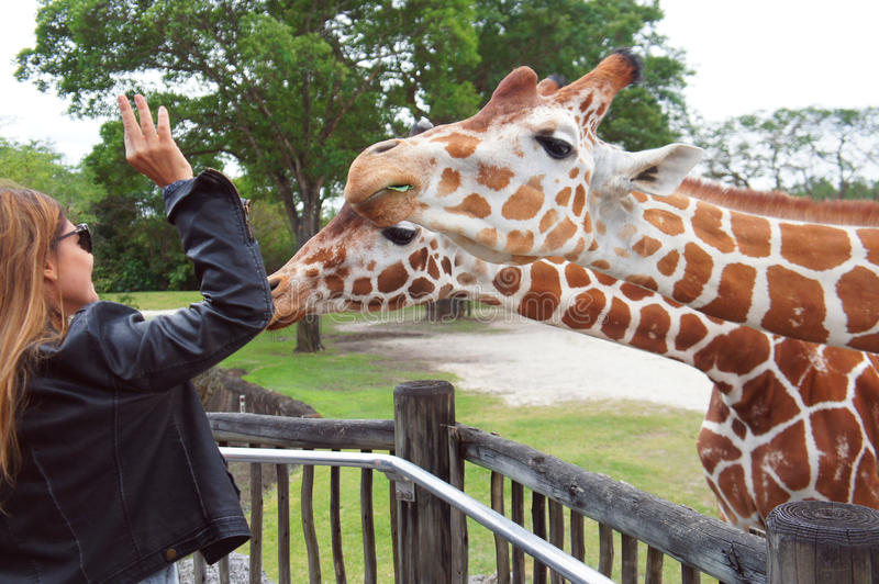 人们在迈阿密地铁动物园里喂养长颈鹿 免版税库存图片