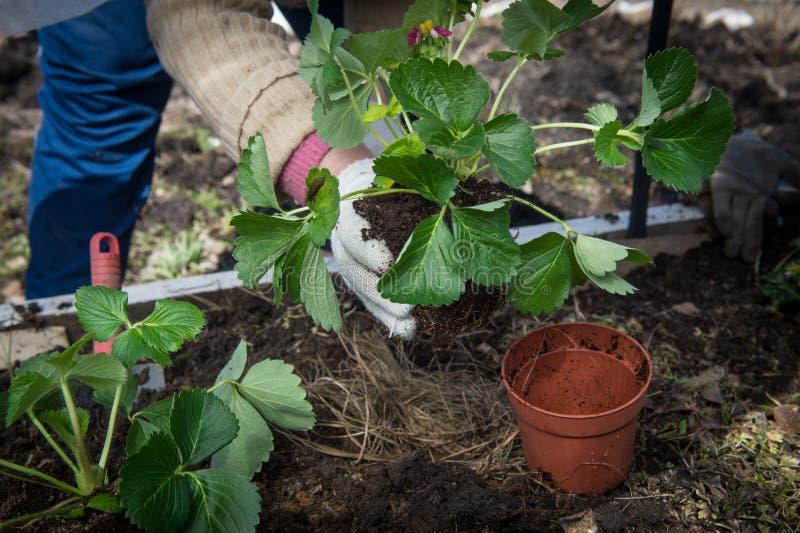 人类树苗自温室 免版税图库摄影