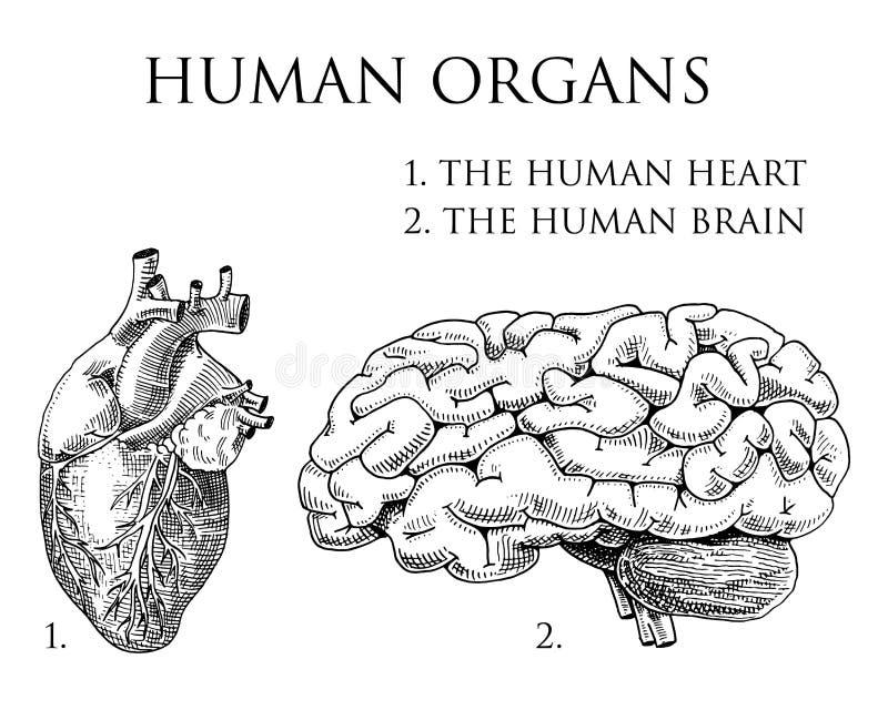 人类生物学,器官解剖学例证 刻记手拉在老剪影和葡萄酒样式 身体详细的脑子或 向量例证
