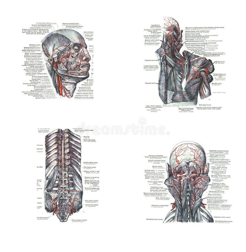 人头的解剖 皇族释放例证