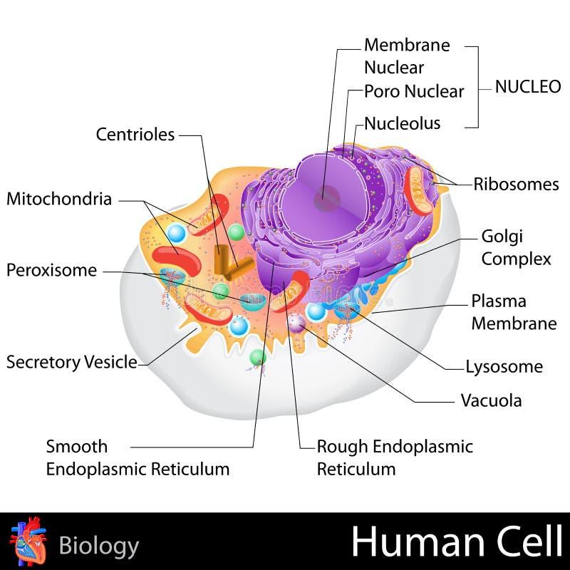 人类细胞 库存例证