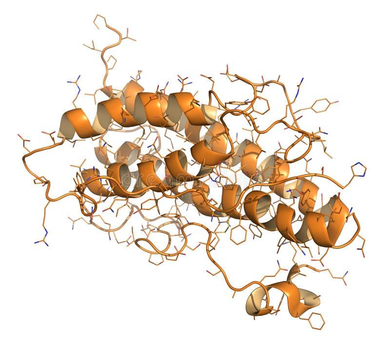 人类荷尔蒙生长(hGH, Somatotropin)分子。自然hormo 向量例证