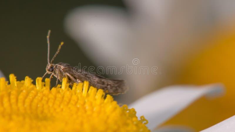 什么的极端特写镜头看来是哺养在黄色和白色野花的飞蛾种类在明尼苏达河附近 免版税库存图片