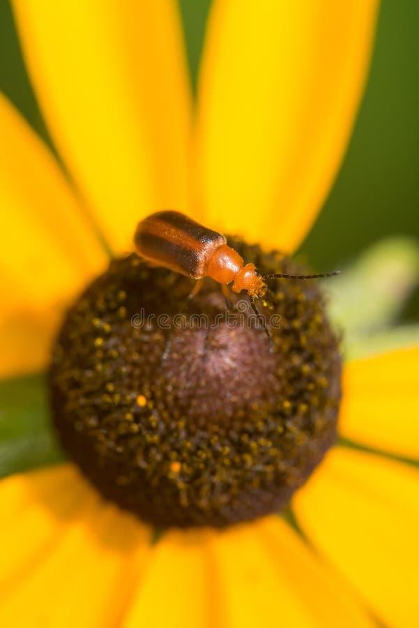 什么的特写镜头宏指令我相信是nemognatha在一个向日葵的水疱虫在西奥多威尔斯公园在明尼苏达 免版税库存图片