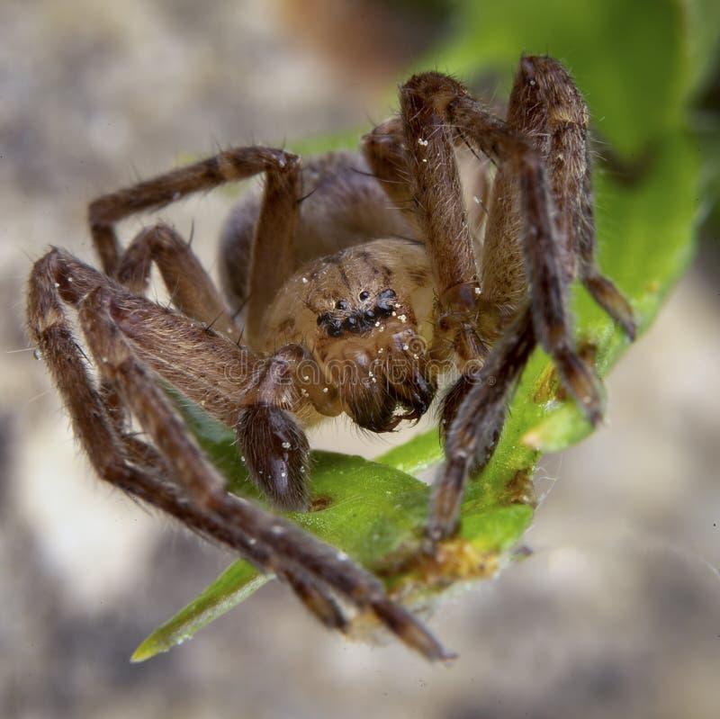 什锦菜argelasius,sparassidae家庭男性蜘蛛摆在 免版税库存照片