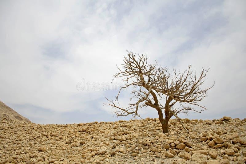 仅有的沙漠横向结构树 免版税库存照片