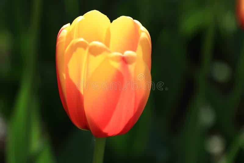 仅有的美丽的郁金香 免版税库存照片
