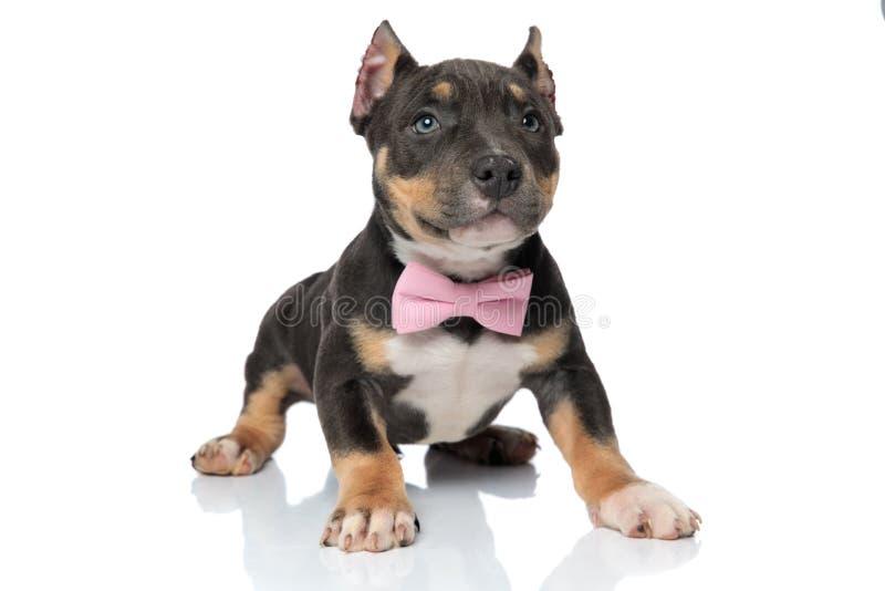 今后看可爱的美国恶霸的小狗 图库摄影