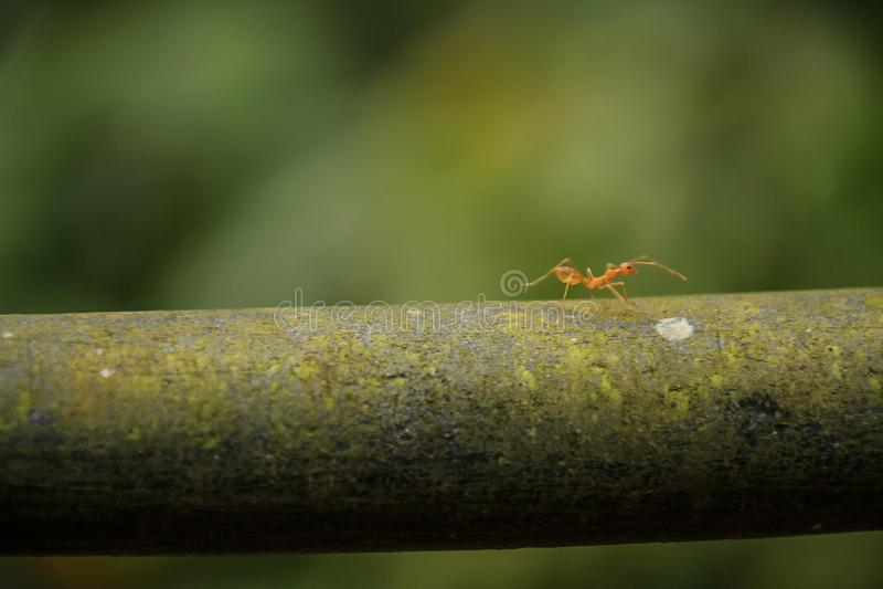 介意她自己的事务, Munnar,喀拉拉,印度的火蚂蚁 库存照片