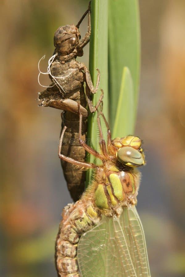 仍然保持它的在芦苇的若虫的一最近新兴四被察觉的追赶者蜻蜓Libellula quadrimaculata它有p 库存照片