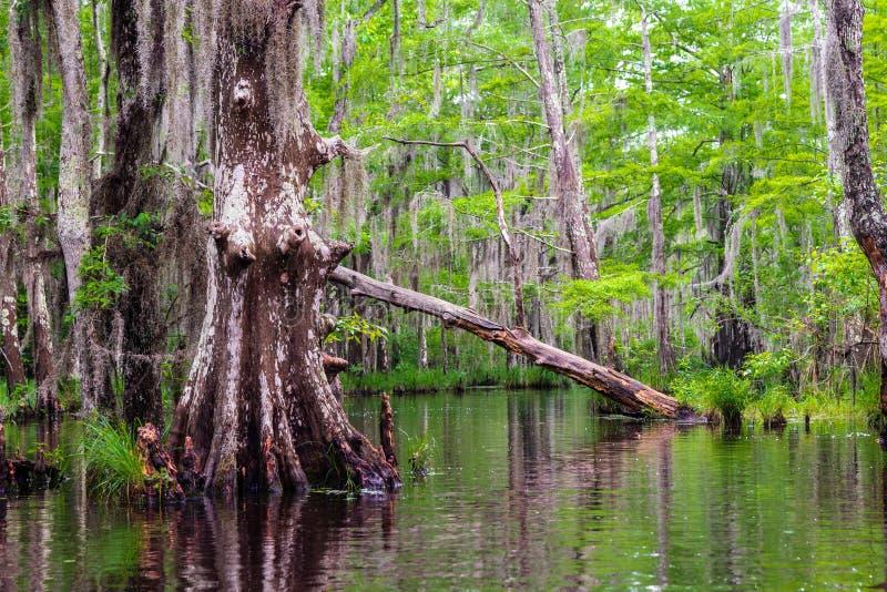 仍然路易斯安那沼泽森林的水隐瞒附近平静地潜伏的野生生物 免版税图库摄影