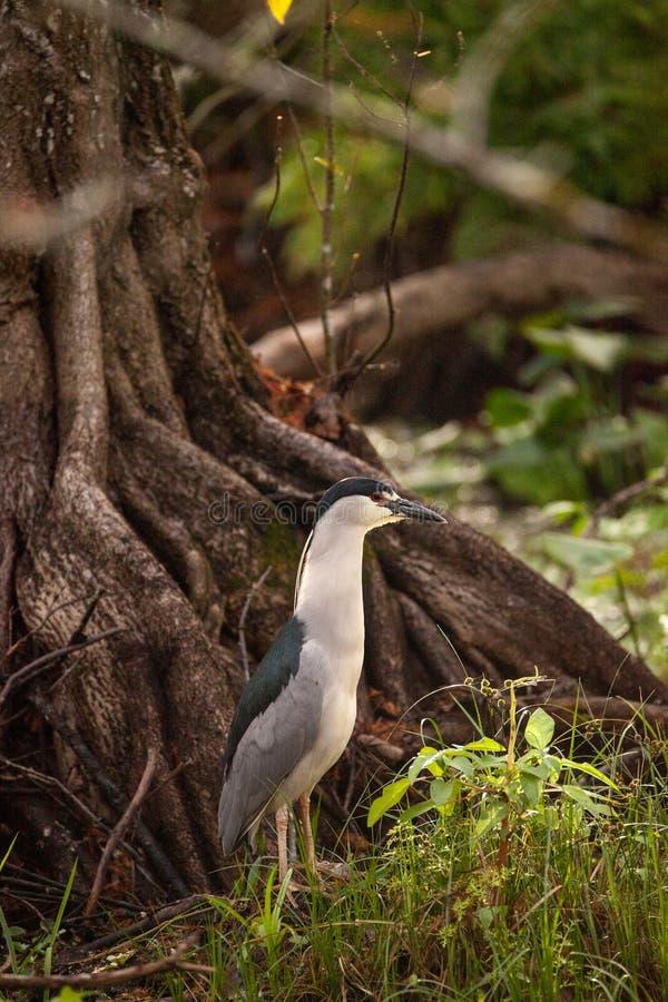 仍然黑被加冠的夜鹭属水鸟Nycticorax nycticorax 免版税库存照片