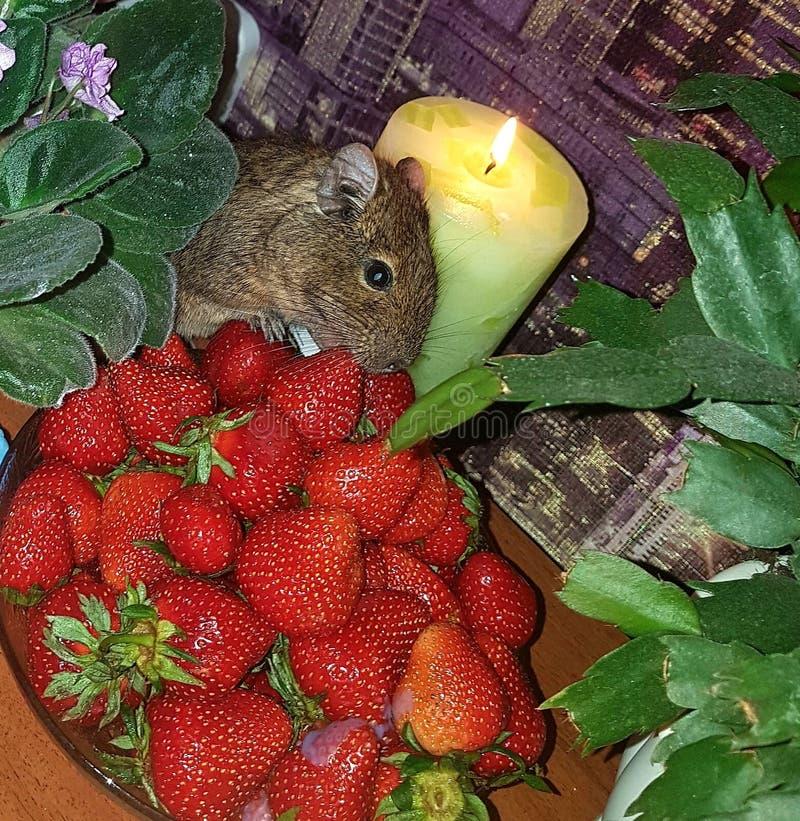 仍然1寿命 在pialok的桌上是仓鼠吃的一个明亮的红色草莓 蜡烛烧 进展的紫罗兰 免版税图库摄影