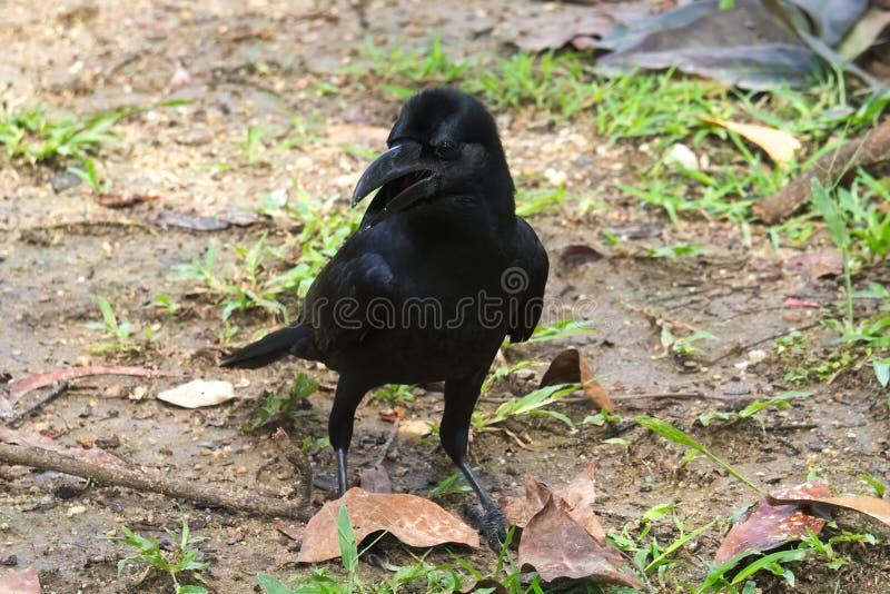 从一只幼小,傲慢的黑乌鸦的惊奇的,厚颜无耻的神色,在湿,泥泞的地面 免版税库存图片