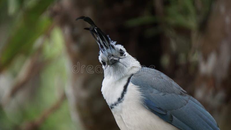 从一只鸟的眼睛看:白喉喜鹊 库存图片