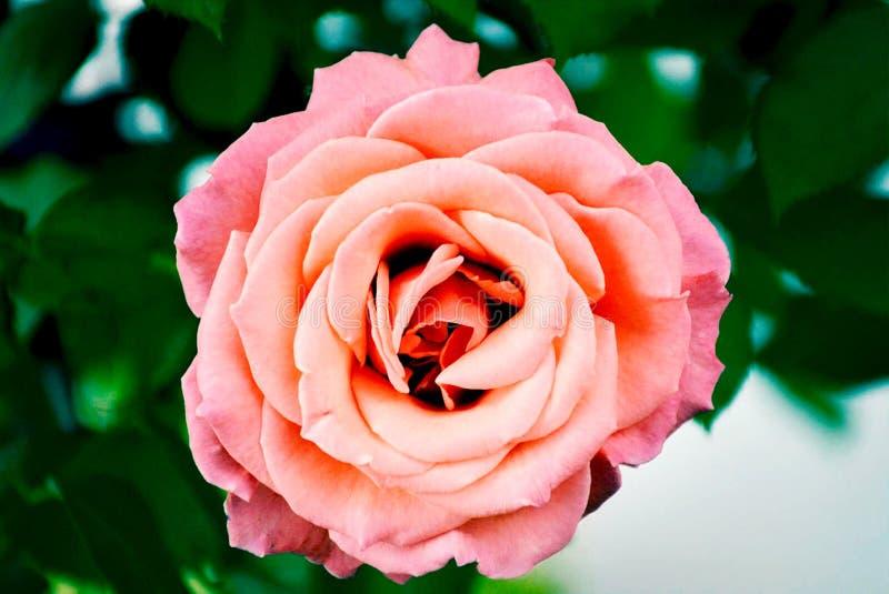 从一朵玫瑰的顶视图closup在庭院里 图库摄影