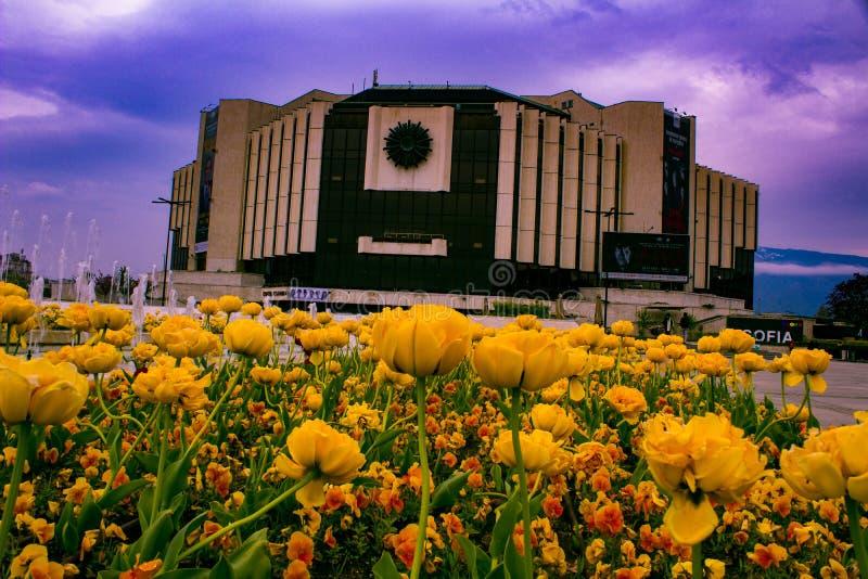 从一绿色庭院保加利亚的花索非亚郁金香 免版税库存照片