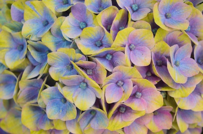 从上面八仙花属关闭 免版税库存照片
