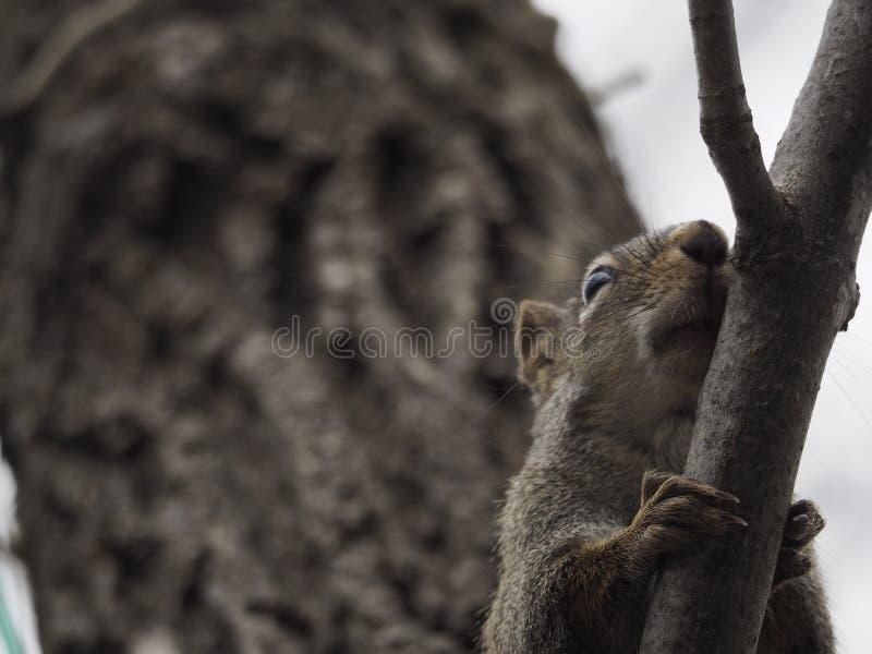 从上面观看机警的北的红松鼠 免版税库存照片
