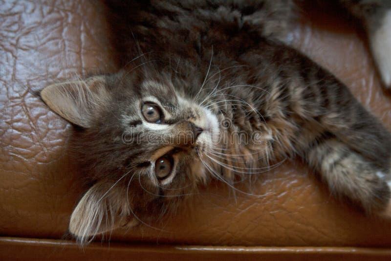 从上面说谎在椅子的灰色虎斑猫 库存图片