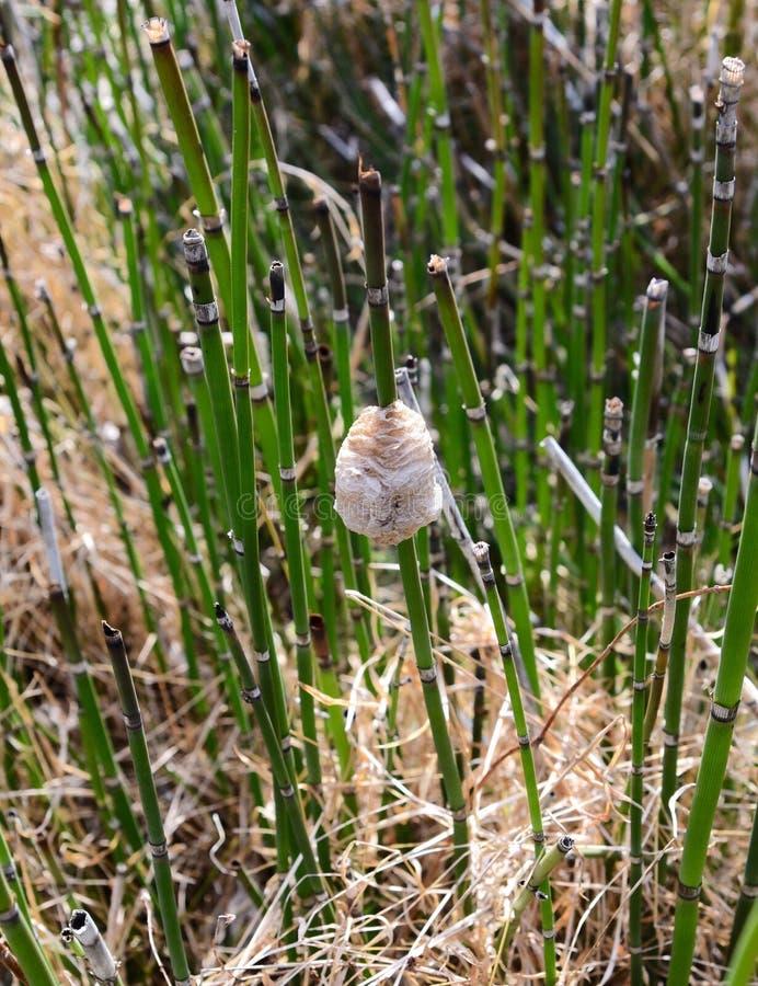 从中国捕食的螳螂的蛋盒在马尾蕨词根 图库摄影