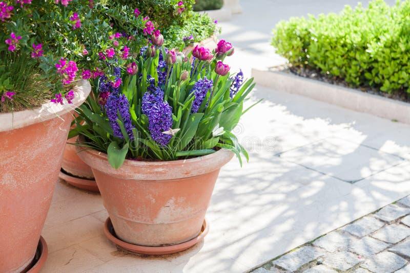 从事园艺在城市街道上的春天 郁金香和风信花在花盆 淡紫色和紫色开花的植物群 库存照片