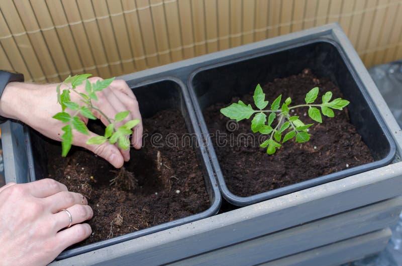 从事园艺在阳台 供以人员手种植在塑料罐的小蕃茄 ?? 免版税库存照片