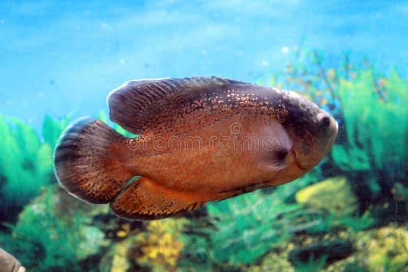 从亚洲的热带鱼 库存图片