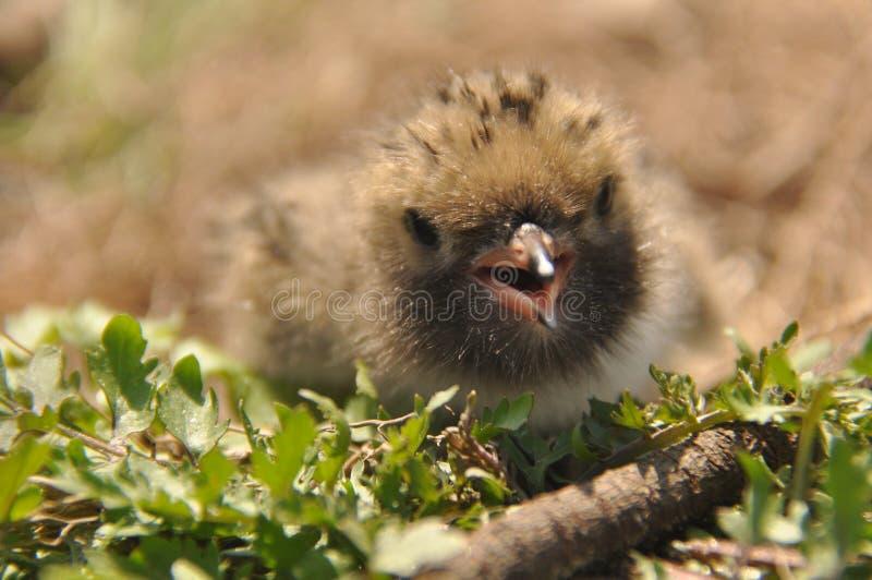 从他们的父母的燕鸥小鸡等待的食物在地面上的巢的 免版税库存图片