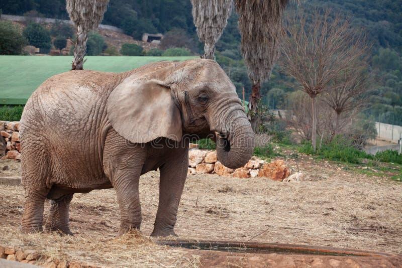 从他的水池的非洲大象饮用水 免版税库存图片