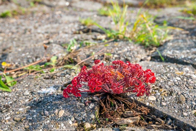 从关闭的草本罗伯特植物 免版税库存照片