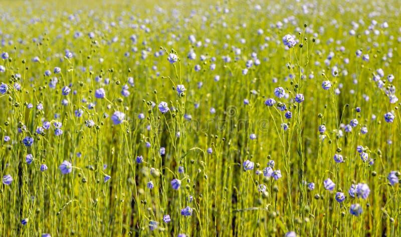 从关闭的蓝色开花的共同的胡麻植物 免版税库存照片